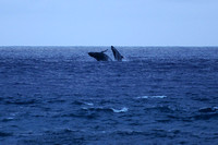 Two humpback whales breaching half a mile offshore