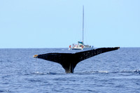 Humpback tail action with catamaran beyond